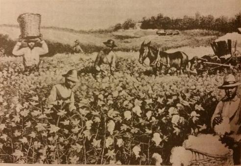 Vergų darbas medvilnės plantacijoje XIX a.